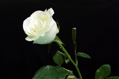 White-Roses-Water-Droplets-HD-Wallpaper